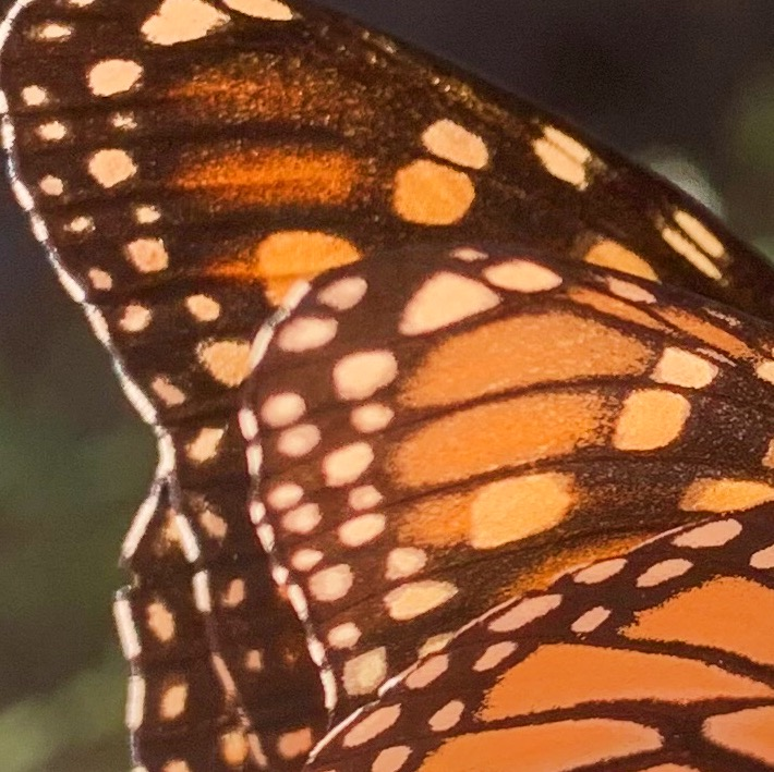 A photo of a monarch butterfly wing. Katherine is grateful for nature.