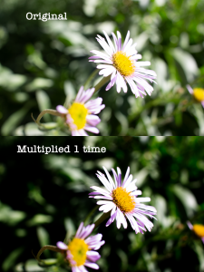 Photo of a daisy multiplied one time using blend modes